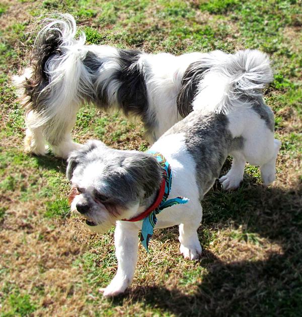 Shih Tzu Dogs Together