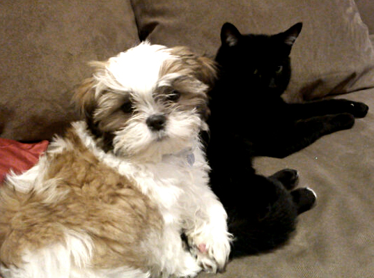 Shih Tzu and cats