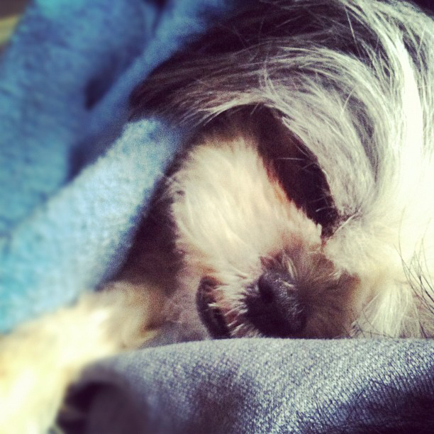 Cute Shih tzu Sleeping