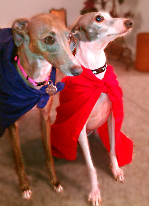 Italian Greyhound Dressed Up