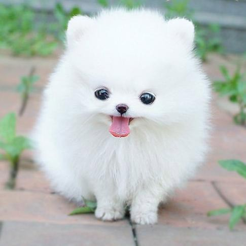 Beautiful White Pomeranian Puppy