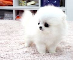 Pomeranian baby - white