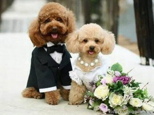 poodle dog wedding