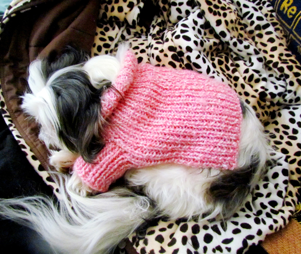 Shih Tzu on Warm Leopard Blanket
