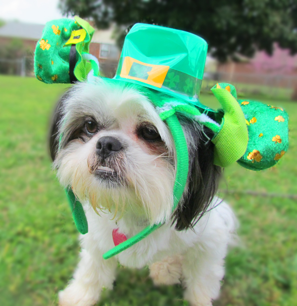 Shih Tzu with Leprechaun Hat