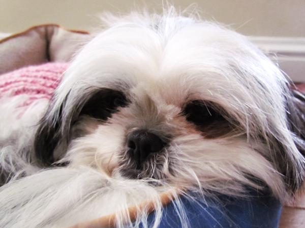 Cute, Sleepy Shih Tzu Puppy