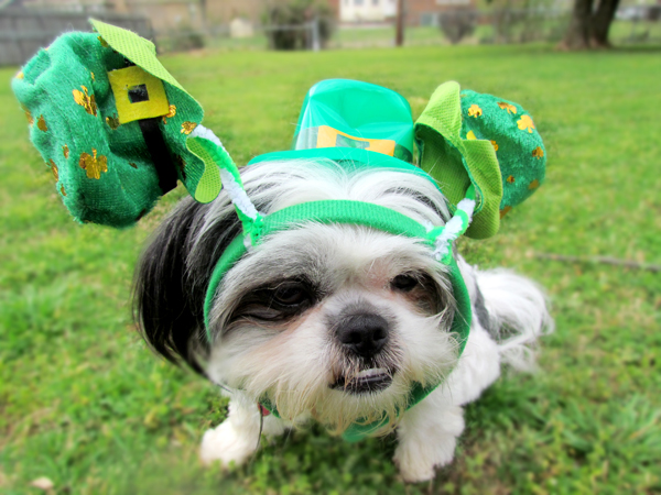 Shih Tzu Dog as Leprechaun