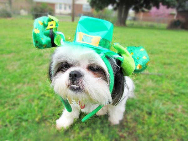 St Patrick's Day Shih Tzu
