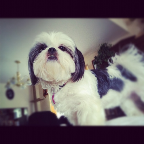 shih tzu on couch