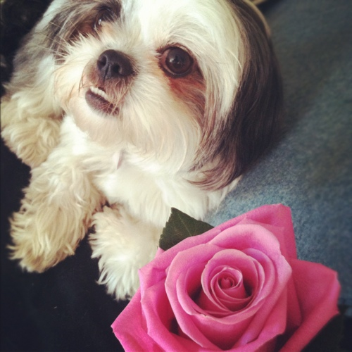 shih tzu with rose
