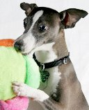 Casey Italian Greyhound Abused