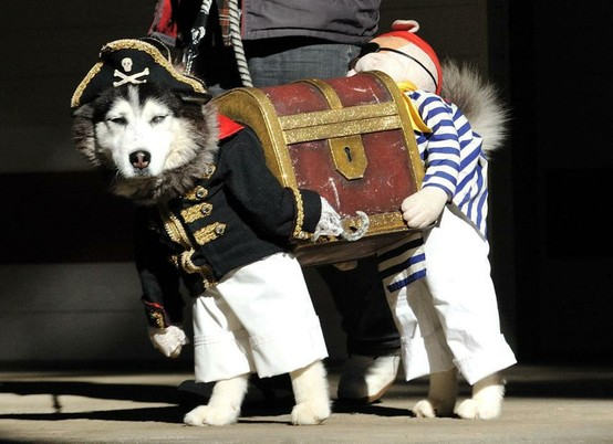 Husky Dressed as Pirate