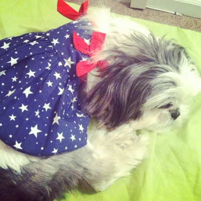 Gracie Lu Shih Tzu in a patriotic flag dress