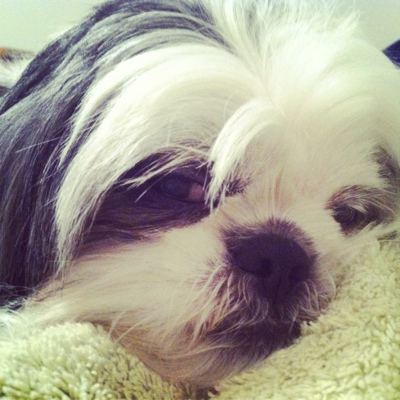 cutest shih tzu