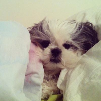 shih tzu and blankets