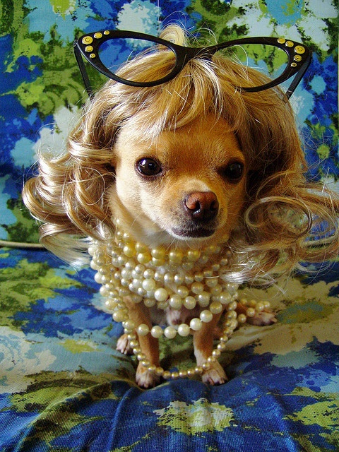 Chihuahua wearing pearls