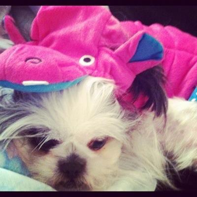 Gracie Lu Shih Tzu dressed as a Hippo