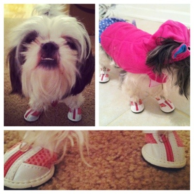 Shih Tzu in Shoes