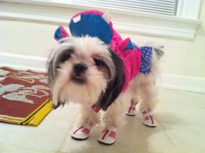 Shih tzu in dog costume and shoes
