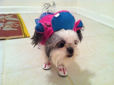 cute shih tzu dressed up