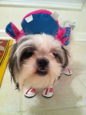 Shih tzu wearing shoes