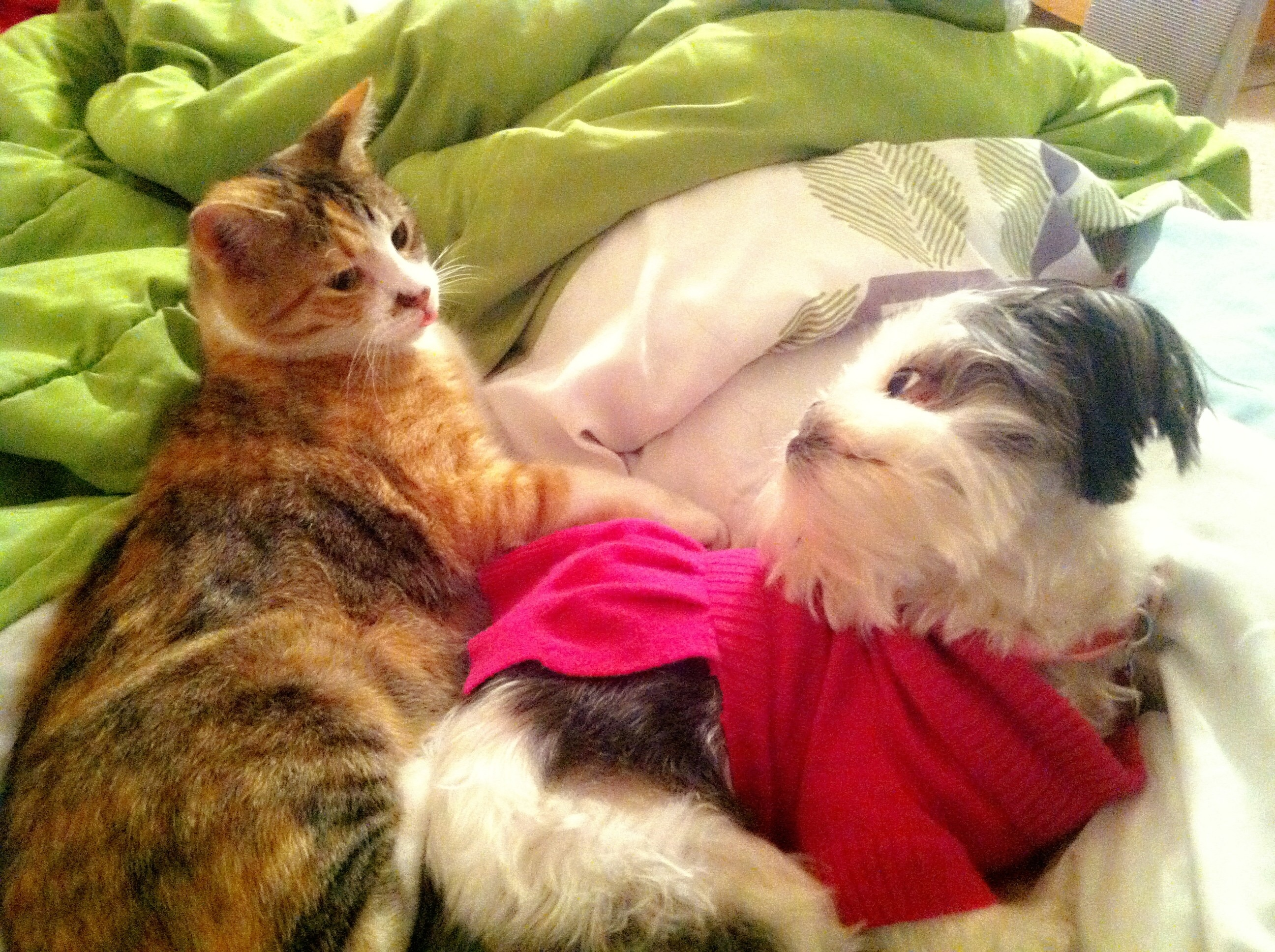 Shih tzu and calico cat