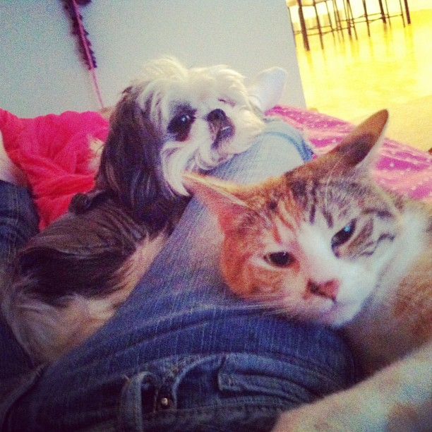 Shih Tzu and Cat, Calico Cat