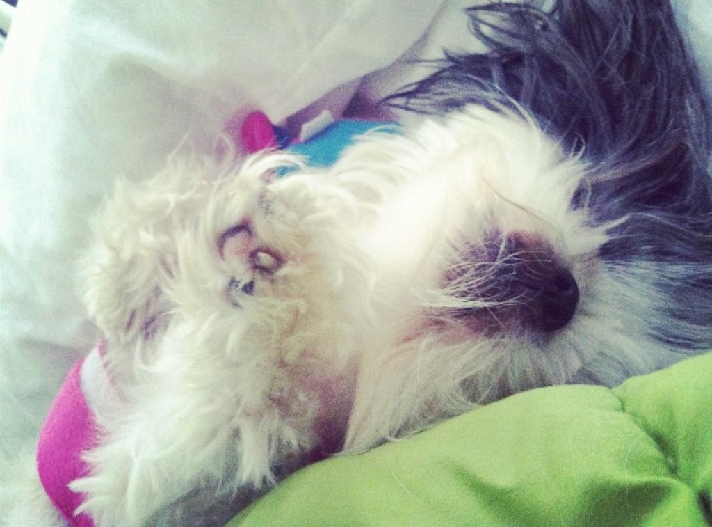 Sleepy Shih Tzu with Paw