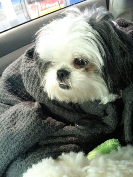 driving with Shih tzu