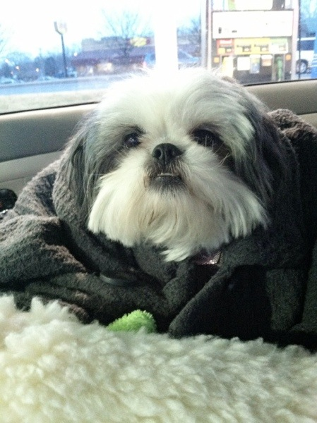 shih tzu wrapped in coat