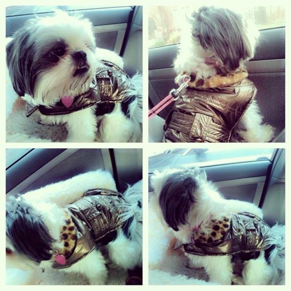 Gracie Ali Shih Tzu in Leather jacket