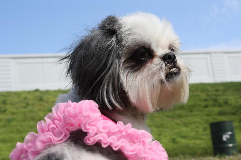 Shih Tzu in Pink