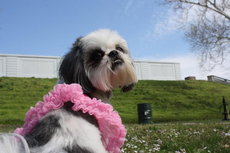 Shih Tzu in Park