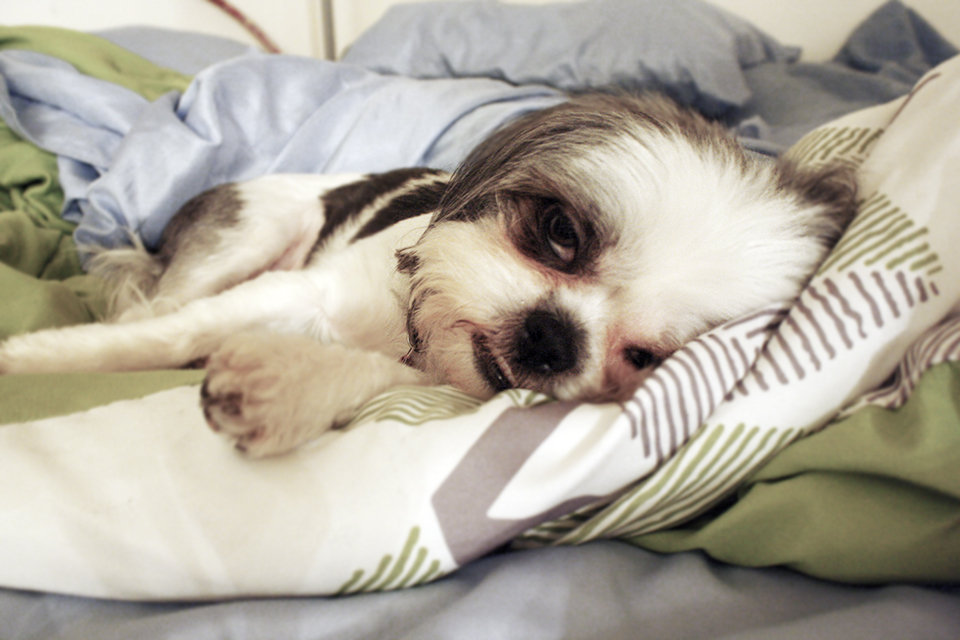 Sleeping Shih Tzu