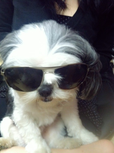 shih tzu in sunglasses
