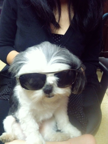 Gracie Lu shih tzu in black sunglasses
