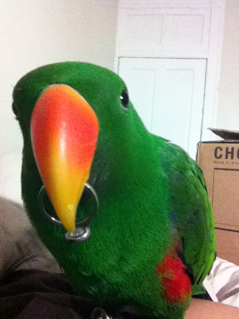 Aru Eclectus Parrot