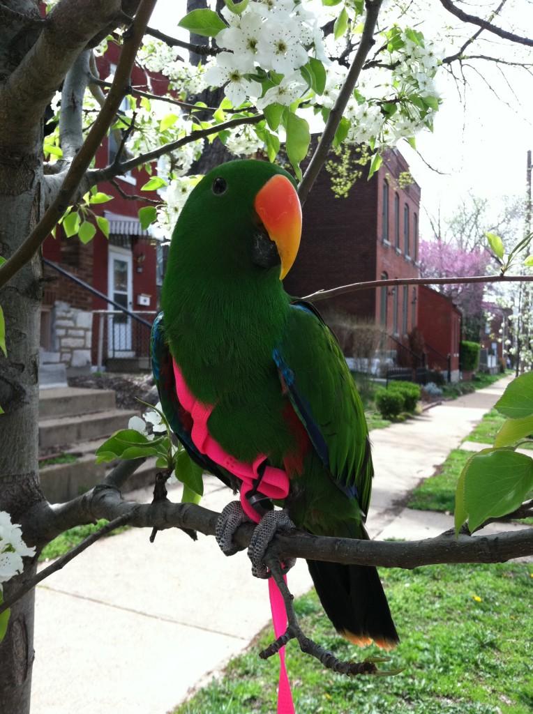 Chaucer Aru Eclectus Parrot