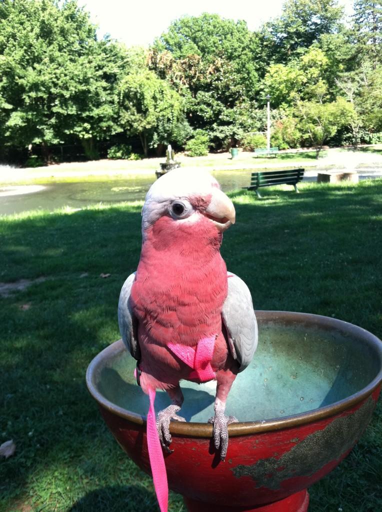 Mr. Bubbles Pet Cockatoo