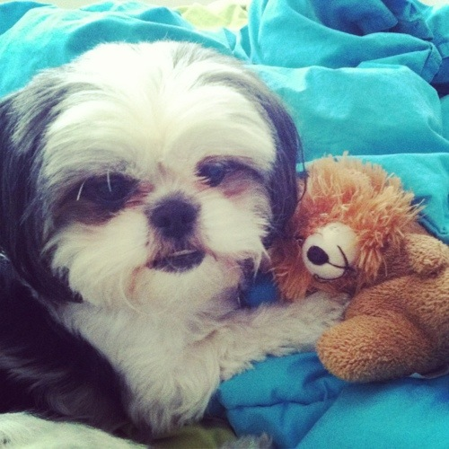 Gracie Lu Shih Tzu with Her Teddy Bear