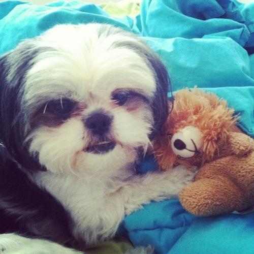Gracie Lu Shih Tzu with Her Teddy Bear
