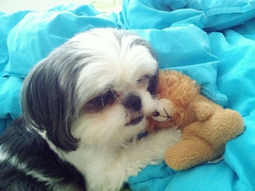 shih tzu and teddy bear