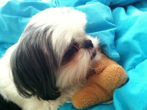 shih tzu puppy teddy bear toy