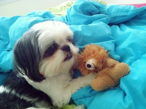 Gracie Lu shih tzu with teddy
