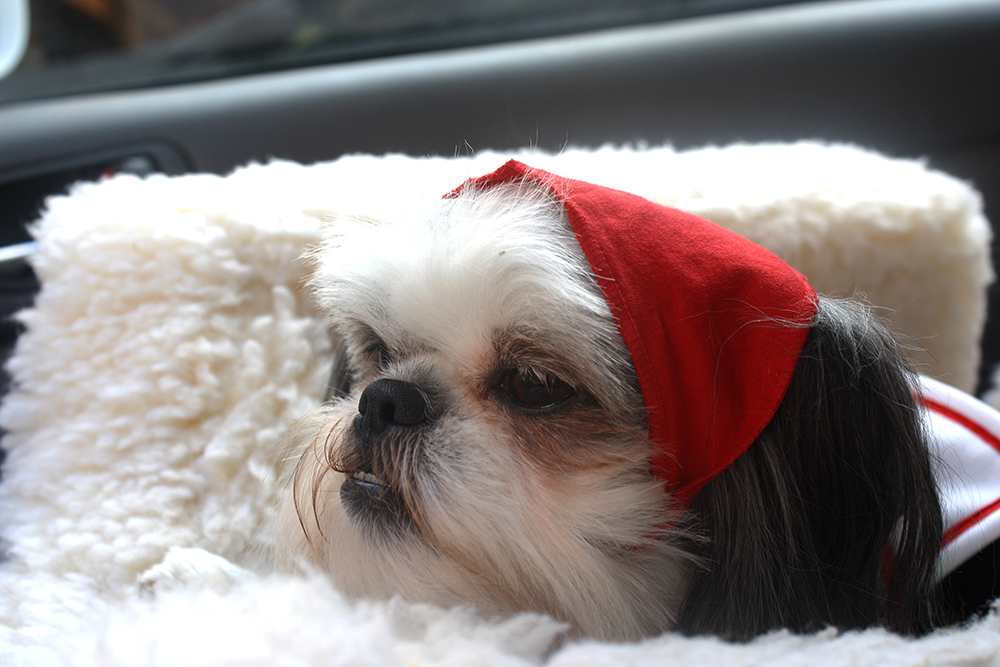 Gracie Lu Shih Tzu Thinking