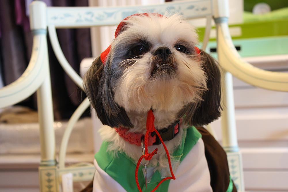Shih Tzu Dressed Up Fluffy Face