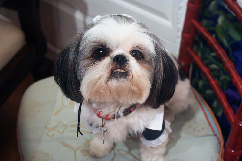 Shih Tzu Fluffy Face Halloween Costume