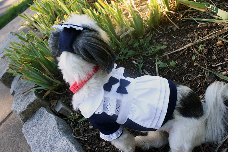 Shih Tzu in French Maid Dog Costume