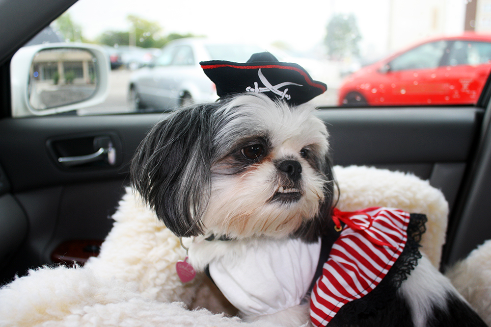 Shih Tzu Dressed Up as a Pirate