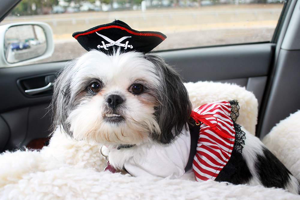 Shih Tzu Dressed Up as Pirate